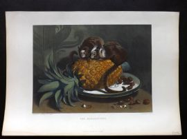 Landseer 1880 Hand Col Print. The Marmozettes. Pineapple, Monkeys